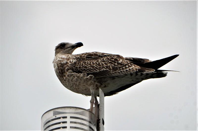 Gull 02.09 (5)