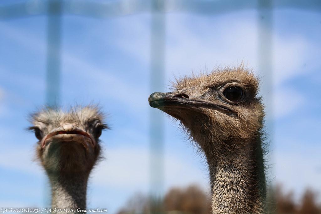 Как я подружился с архангельскими страусами