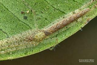 Pisaurid spider (Pisauridae) - DSC_1792