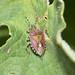 Dolycoris baccarum - Hairy Shieldbug 1140099