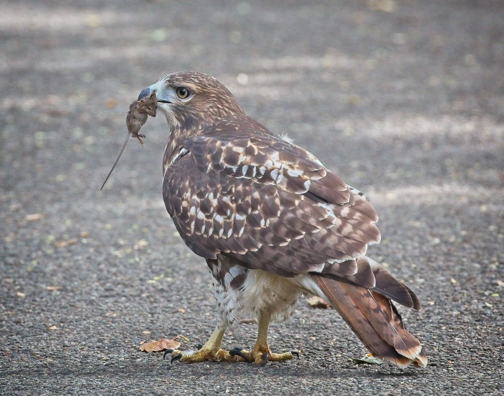 Tompkins Square red-tail fledgling with a mouse
