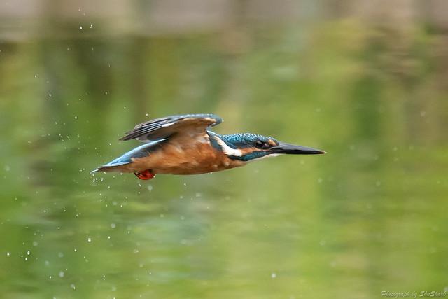 20180909-kingfisher-DSC_8490