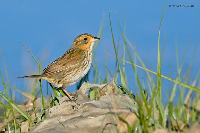 Saltmarsh Sparrow (Explored 9/19/18), Nikon D610, AF-S Nikkor 300mm f/4D IF-ED