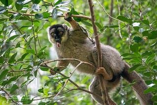 Brown lemur (Eulemur fulvus) - DSC_8338