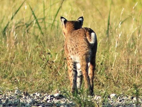 Bobcat female 03-20180828