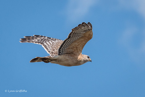 Red-shouldered Hawk 500_8177.jpg