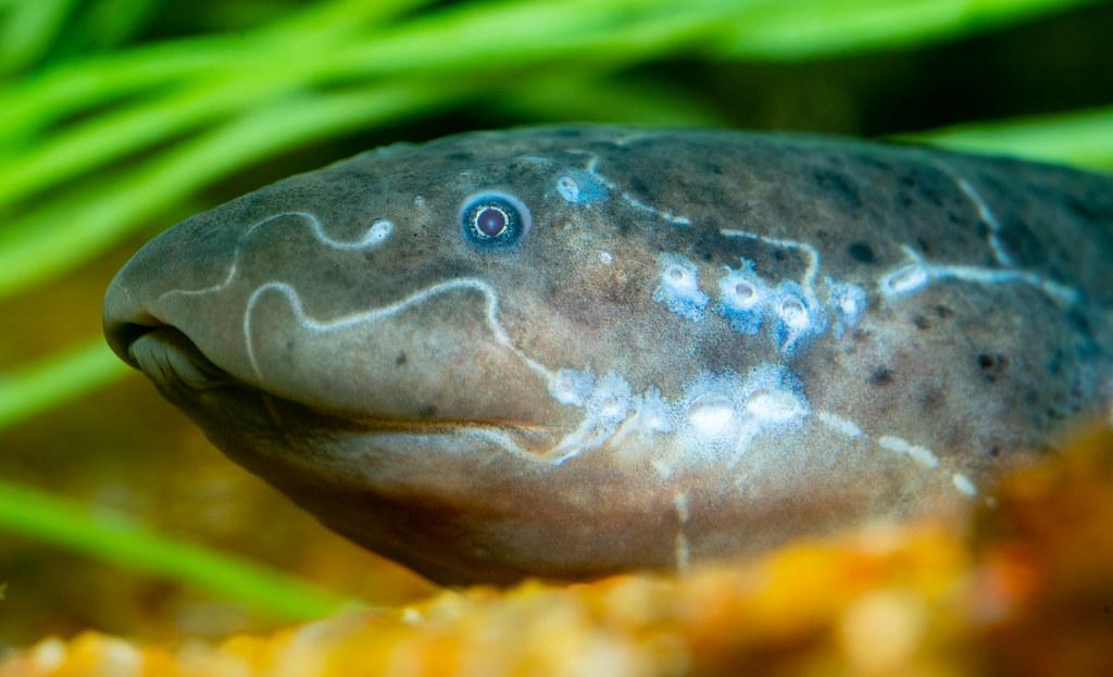 Lungfish_1