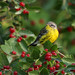 Magnolia Warbler by mike o1