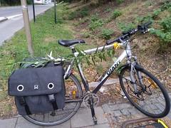 Stek van Katwilg (Salix viminalis) aan mijn fiets
