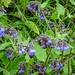 Russian Comfrey - Symphytum x uplandicum