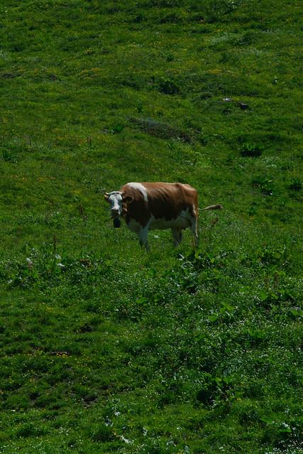 Cow, Switzerland, Jul 18