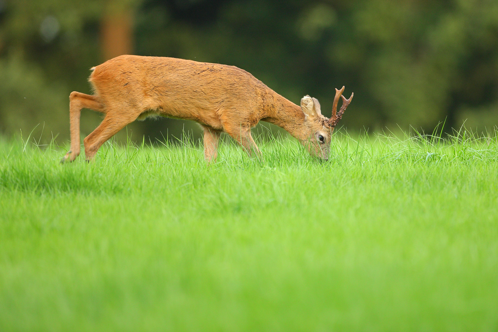 Roe Buck Grazing