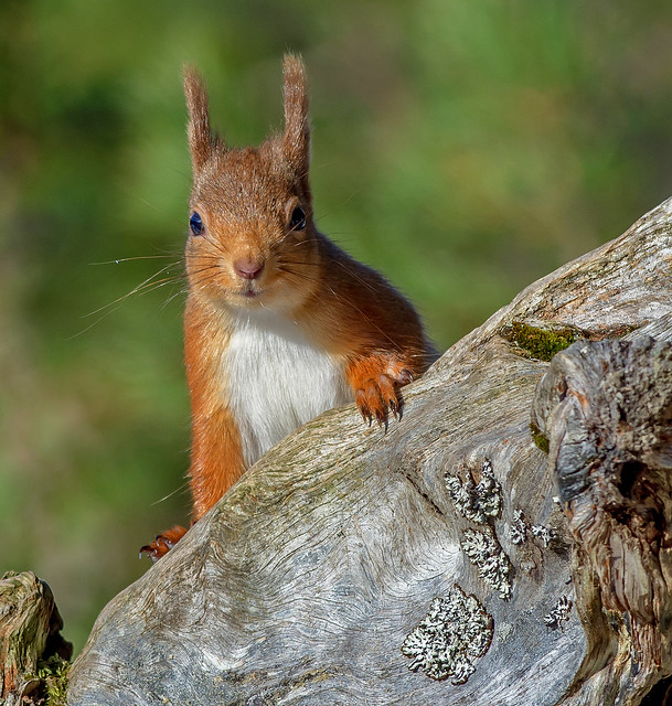 JWL8934  Red Squirrel..
