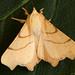 September Thorn (Ennomos erosaria).