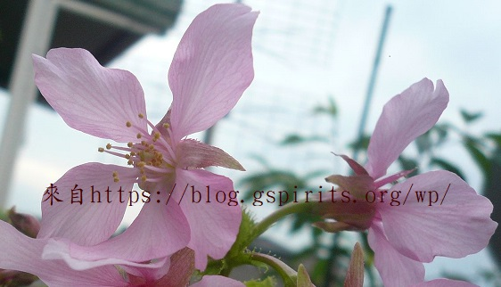 頂樓的花園 -- 平地水蜜桃