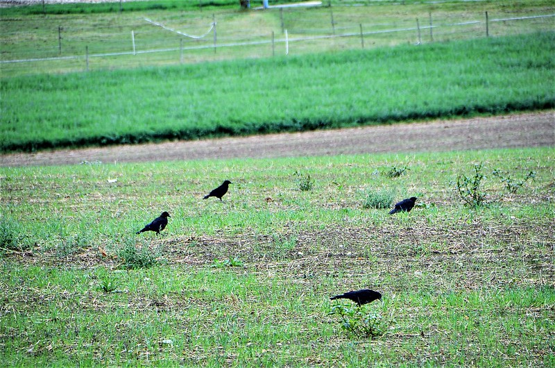 Crows 31.08 (2)