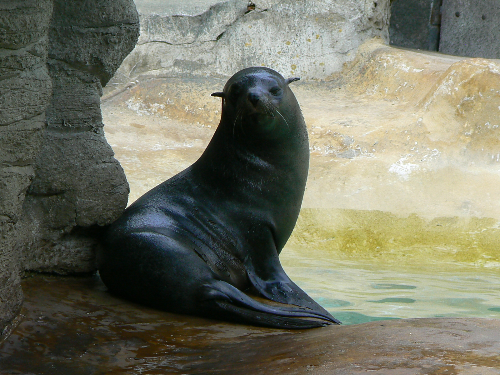South American fur seal at the Hamburg Zoo. Photo taken on August 24, 2006.