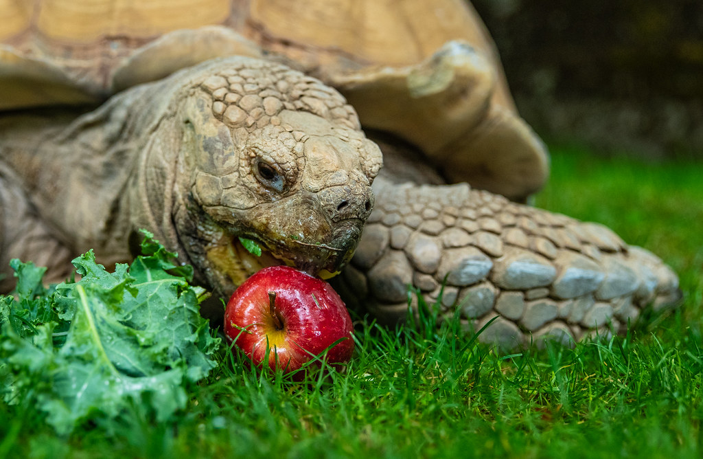 African Spurred Tortoise_A_10