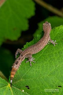 Madagascar clawless gecko (Ebenavia inunguis) - DSC_1757