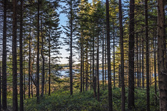 Picea abies forest at Vézoles Lake
