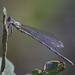 Willow Emerald Damselfly (Chalcolestes viridis)
