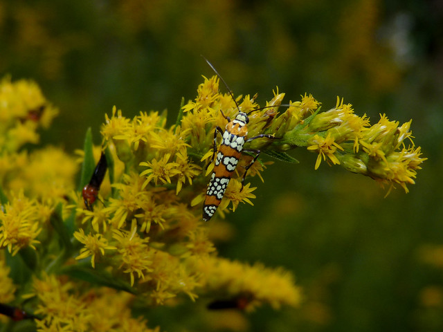 Ailanthus Webworm Moth, Panasonic DMC-FZ35