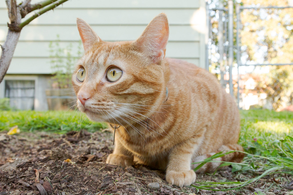 A close view of our cat Sam beside a rose bush in our backyard in Portland, Oregon