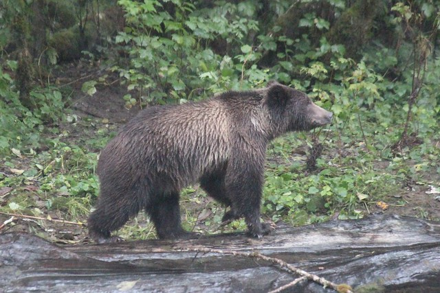 Grizzly bear, Ordford River, Canon EOS 600D, Canon EF-S 55-250mm f/4-5.6 IS