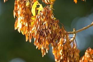 Autumn seeds - Culm River, Cullompton, Devon - Oct 2018
