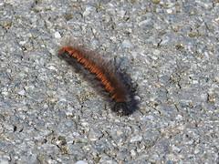 Fox Moth Caterpillar-Malltreath  DSCN1611