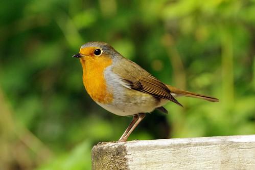 wild nature wildlife rspbleightonmoss lancashire bird robin erithacusrubecula