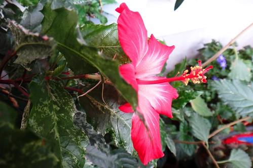 Второй день цветка гибискуса