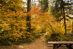 Fall color at the Paradise campground, McKenzie River, Oregon