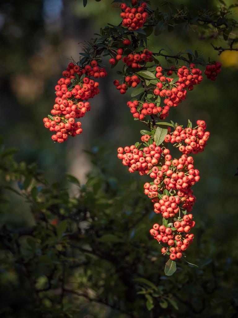 Rouge d'automne... 43491555970_6030b7d081_b