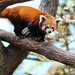 Afternoon WalkRed Panda - Singapore River Safari