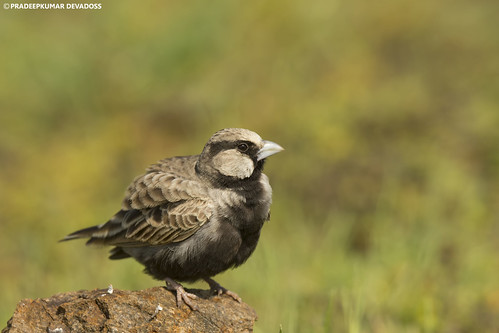 Ashy Crowned Sparrow Lark - male