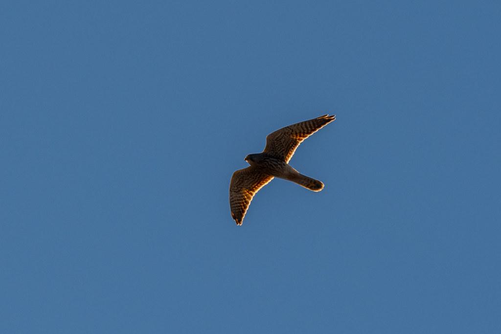 Back-lit Peregrine Falcon - Falcão-peregrino - Falco peregrinus