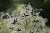 Photo:Clematis uncinata var. ovatifolia  キイセンニンソウ(実) By ashitaka-f studio k2