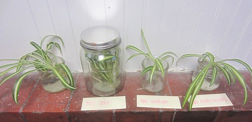 comparing spider plants growth in deprivation