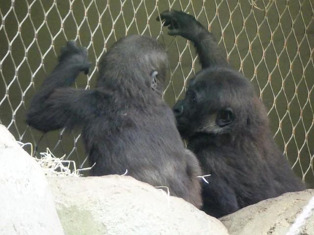 Gorilla Xetsa + Wela, Zoo Frankfurt