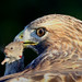 Red-tailed Hawk - Plainfield, Illinois