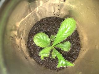 Drosera schizandra in a coffee jar terrarium
