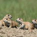 1406_0356 Black-tailed Prairie Dogs by wild prairie man