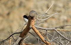 Traquet de Hume - Masafi Wadi/Fujairah/UAE_20170113_001-1