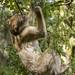 Barbary ape foraging