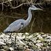 Grey Heron --- Ardea cinerea