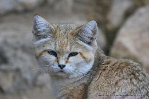 Sand Cat..............