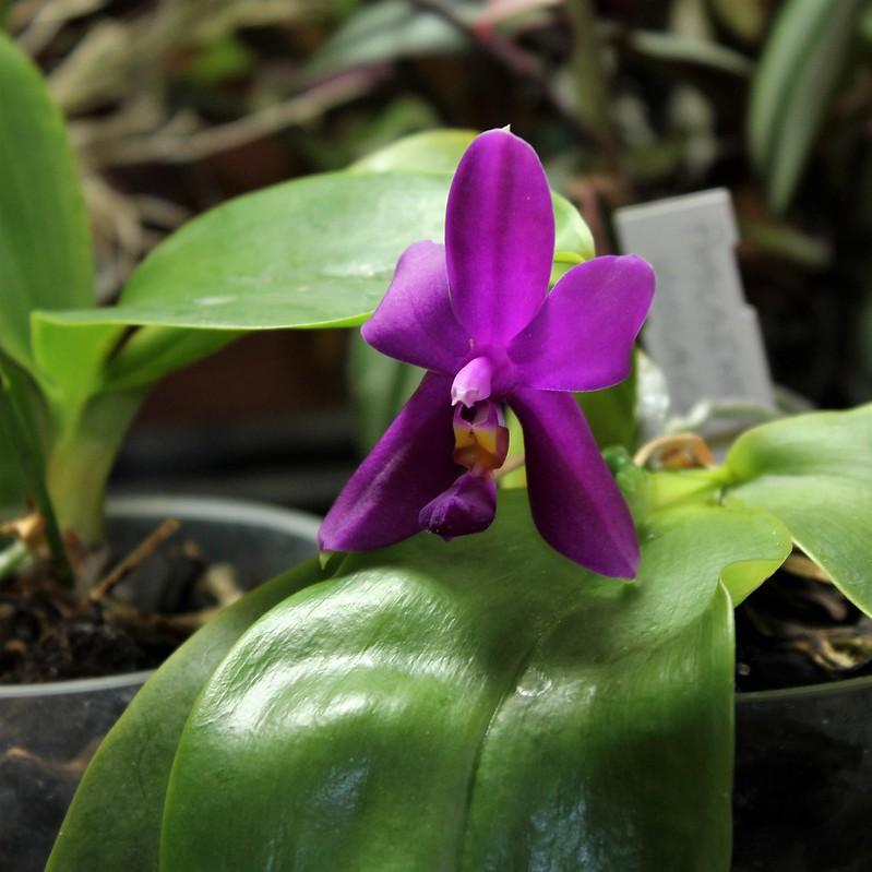 orchidées - floraisons du moment 2018 - Page 4 30990962168_1bf98357dd_c