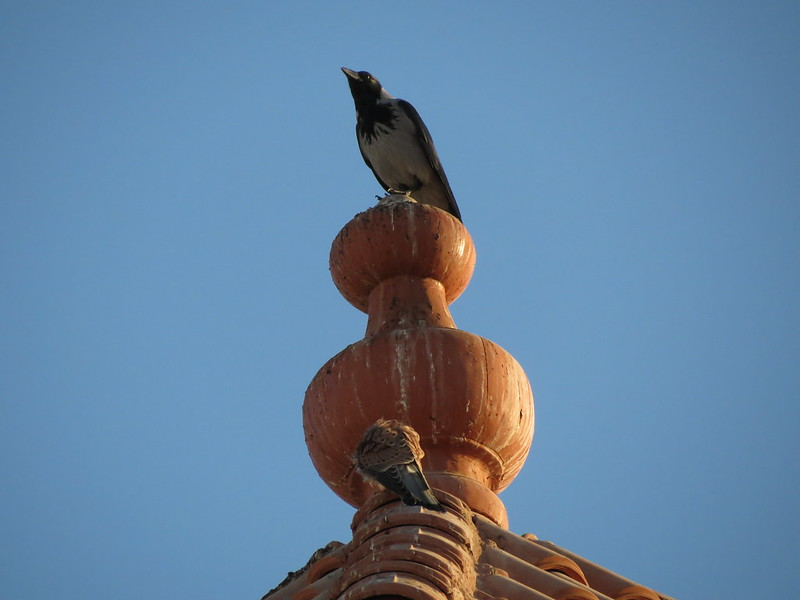 Falco tinnunculusCorvus cornixIMG_2990