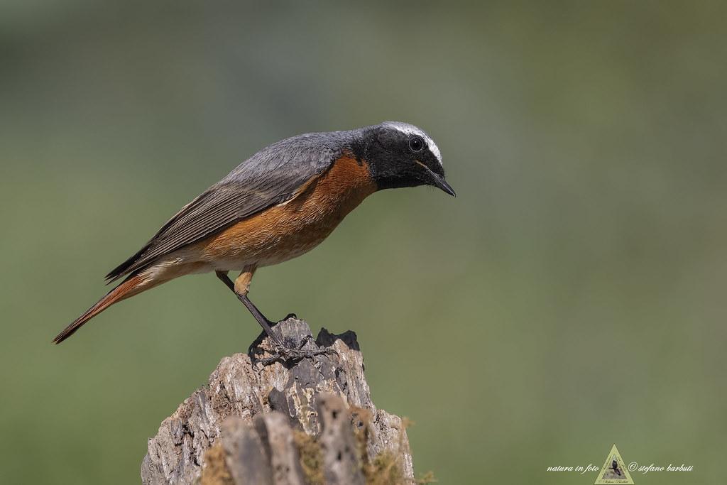 Codirosso - Phoenicurus phoenicurus